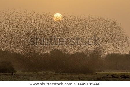 Sessão arbusto pássaro animal África do Sul animais selvagens Foto stock © dirkr