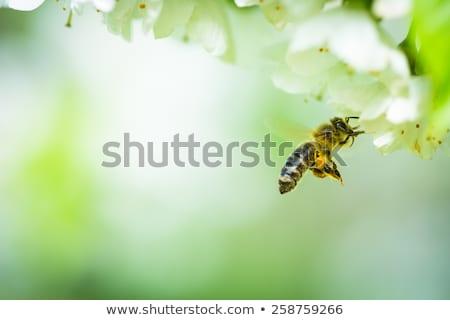 пчелиного · меда · полет · Вишневое · дерево · саду - Сток-фото © lightpoet