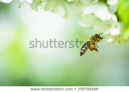 Mel de abelha vôo florescimento cereja árvore jardim Foto stock © lightpoet