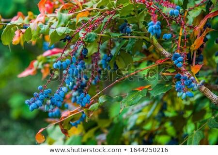 honeysuckle plant with blue fruits Stock photo © jonnysek