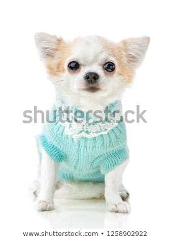ストックフォト: スタジオ · ショートヘア · 犬 · スキー · 子犬 · 冷たい