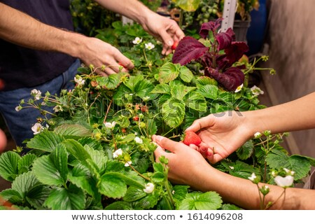 Hands of two contemporary farmers picking ripe strawberries in greenhouse Stock photo © pressmaster