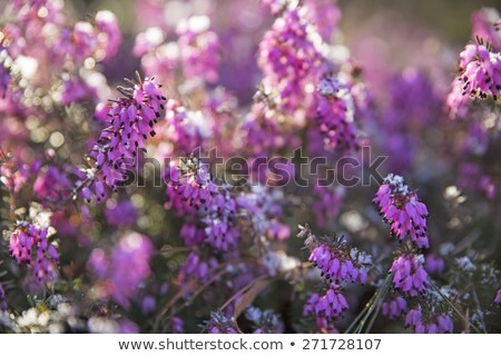 Macro of blossoms from a winter-flowering heather plant Stock photo © manfredxy