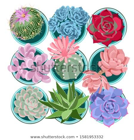 Cactus Blossoms Stock photo © craig