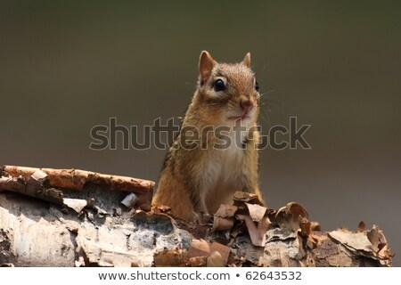 avvisare · chipmunk · betulla · corteccia · albero · natura - foto d'archivio © mackflix