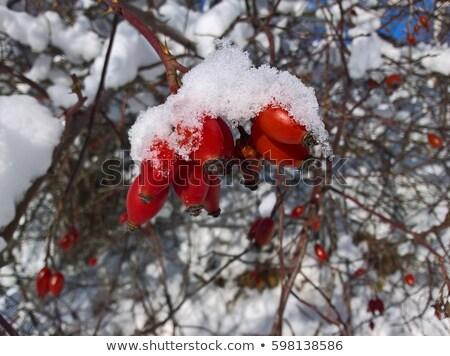 Foto stock: Nieve · caer · bayas · rojo · cubierto · belleza