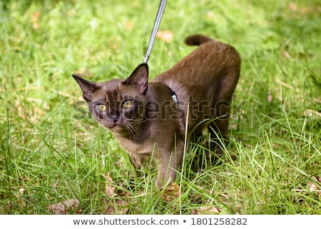burmese kitten looks, color Stock photo © Andriy-Solovyov