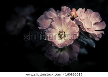 белые цветы черный zen камней белый цветы Сток-фото © calvste