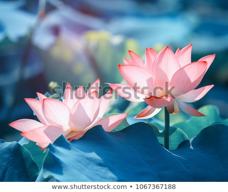 lotus flowers blooming in pond stock photo © bbbar