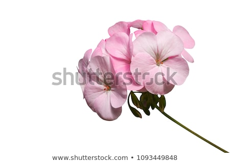 Pink Geranium Flower with Copy Space Stock photo © scheriton