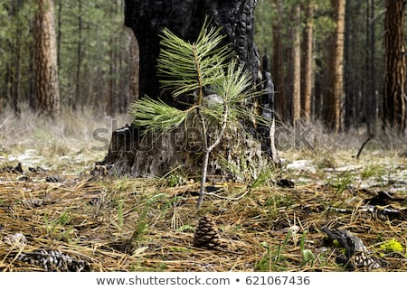 Ponderosa Pine Bark Stock photo © pixelsnap