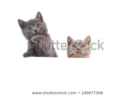 Stock photo: two british short haired cats