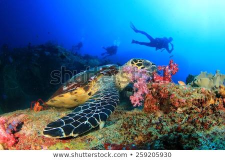 Mélyvizi búvárkodás Karib búvár kristály víz természet Stock fotó © MojoJojoFoto