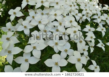 beyaz · çiçeklenme · doku · doğa · ışık · bahçe - stok fotoğraf © haraldmuc