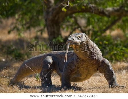 Sárkány hüllő veszélyes természet trópusi állat Stock fotó © KMWPhotography