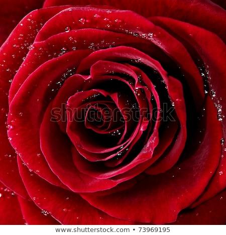 Rosa vermelha gotas de água foto folha rosas Foto stock © tolokonov