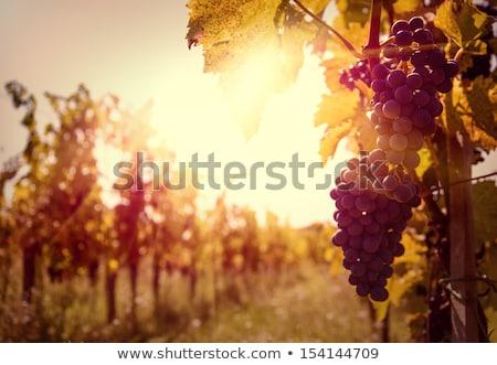 Tarım şarap kırmızı greyfurt alan İspanya Stok fotoğraf © lunamarina
