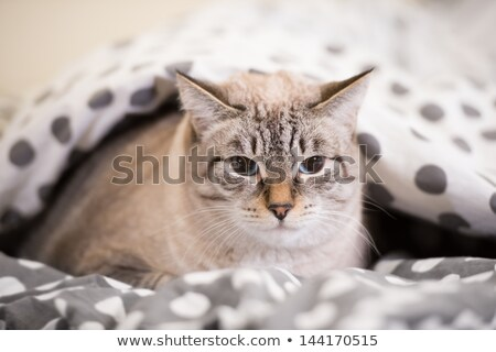 cat laying on a bed under the duvet looking at camera stock photo © hasloo