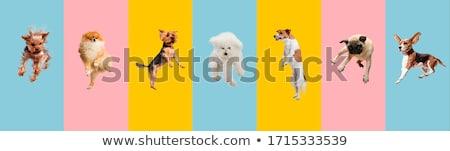 Flying dog stock photo © buchsammy