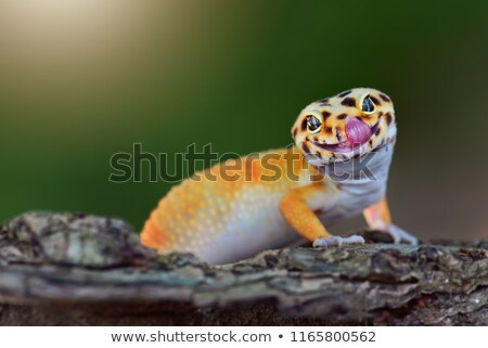 Leopard gecko Stock photo © Nneirda