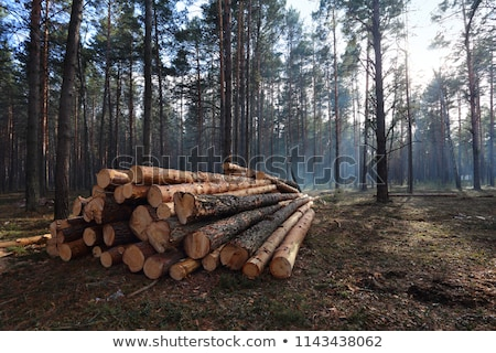 pine logs and spring forest stock photo © tainasohlman
