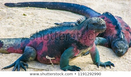 Foto stock: Close Up Of The Foot On A Galapagos Marine Iguana