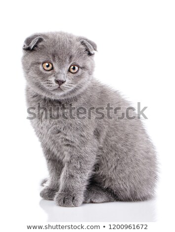 Scottish fold kitten isolated on white background Stock photo © Escander81