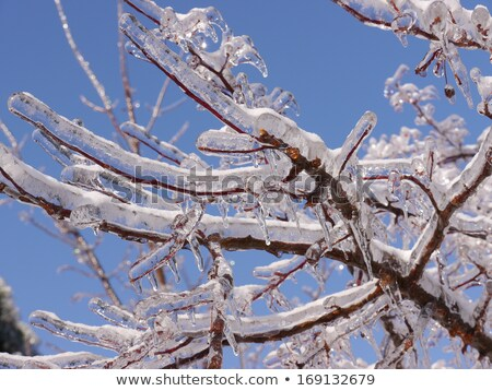 Ice coated tree branch after an ice storm. Stock photo © gabes1976