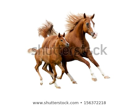Stock photo: White horse with foal