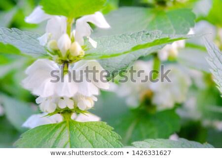 Beyaz yaprak güzellik çay renk bitki Stok fotoğraf © Virgin