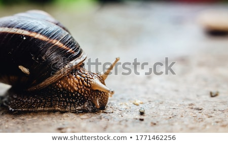 snail crawling down close up stock photo © oleksandro