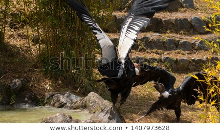 Female Andean Condor on Grass stock photo © rhamm