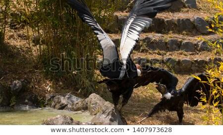 Stock photo: Female Andean Condor on Grass