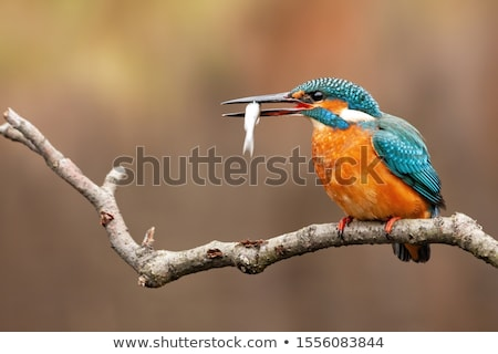 Kingfisher (Alcedo atthis) with prey Stock photo © dirkr