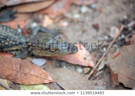 Fej fiatal amerikai krokodil közelkép víz Stock fotó © OleksandrO