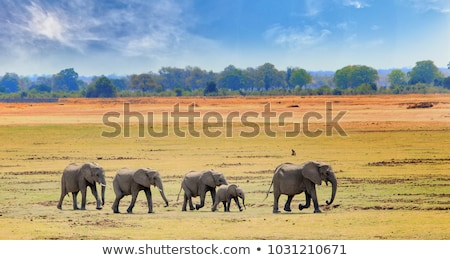 Stock fotó: Elefánt · család · sétál · szavanna · afrikai · elefánt · baba