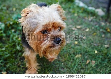 ヨークシャー · テリア · 子犬 · 犬 · 草 - ストックフォト © feedough