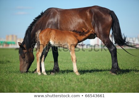 Young foal nursed by mare on horse ranch farm Stock photo © stevanovicigor