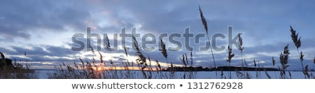 Bushgrass spike with sunset lake background Stock photo © Mps197