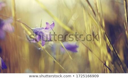 Stock fotó: Kék · virágok · legelő · fehér