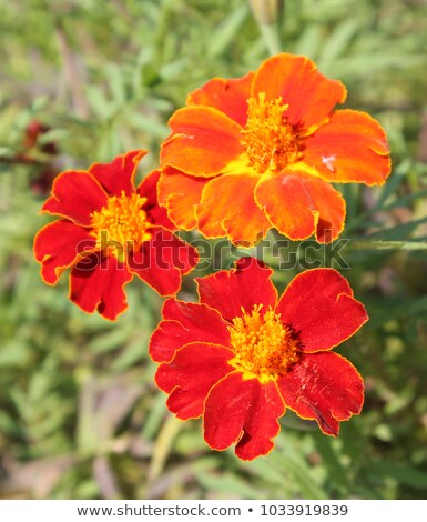 Golden marigold (Tagetes tenuifolia) Stock photo © rbiedermann