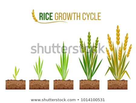 Iconos ciclo icono ilustración agrícola Foto stock © lenm
