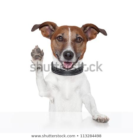 Foto stock: Cinco · jack · russell · terrier · filhotes · de · cachorro · isolado · branco