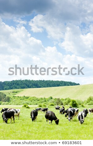 Troupeau vaches Slovaquie vache animaux prairie Photo stock © phbcz