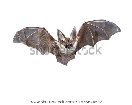 Bat Isolated Stock photo © Lightsource