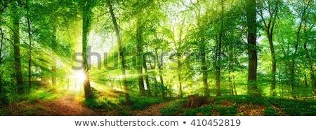 Beautiful beech forest at summer Stock photo © digoarpi