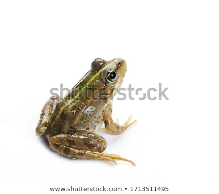 изолированный портрет лягушка белый макроса выстрел Сток-фото © taviphoto