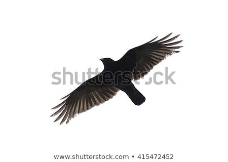 vol · blanche · plumes · noir - photo stock © pictureguy