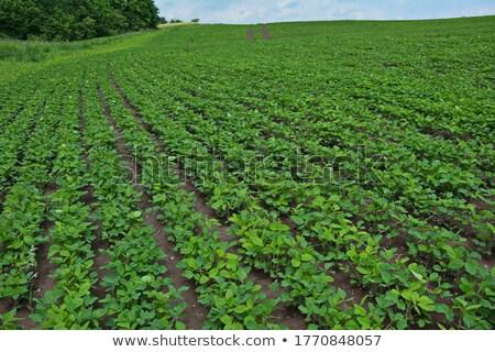 Megművelt szójabab fiatal növények növekvő mezőgazdasági Stock fotó © stevanovicigor