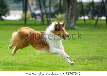 hond · lopen · gazon · boom · gras - stockfoto © raywoo